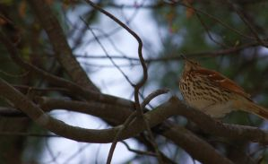 Brown Thrasher by JulieaCafe