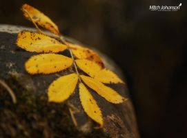 Yellow Leafs on a Rock by mjohanson