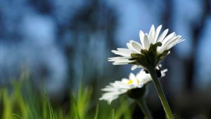 Daisys and Spiders by BOB-Photo