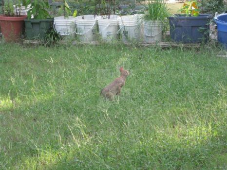 Rabbit in Yard 02 by Guardian-of-Worlds