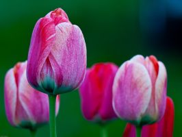 Tulips by sketeyo