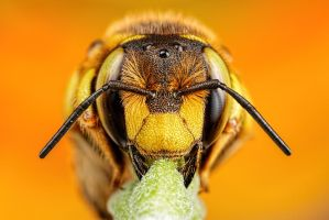 Wool Carder Bee Series 1-1 by dalantech