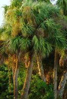 Palm Trees in Titusville #9714 by darenw