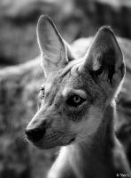 WOLF PUP PORTRAIT by Yair-Leibovich
