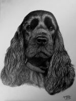 Cocker spaniel portrait by Magdalena888