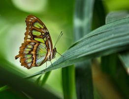 Butterfly Stock 27 by NellyGrace3103