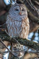 Barred Owl by madmoonhowl