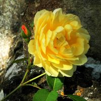 Rose on Stone by EarthHart
