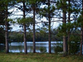 Row of Pines by SolStock