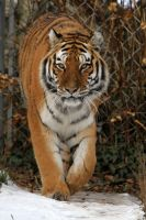 Tiger 02 by LydiardWildlife