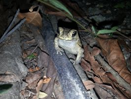Toad 29Oct2014 by RiverKpocc