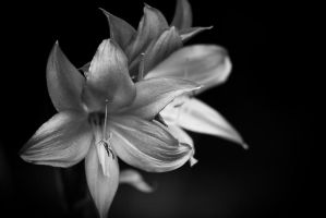 White Lily by theon07
