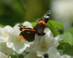 Red Admiral Butterfly by little--grasshopper