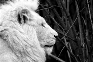 African White Lion by Mayini