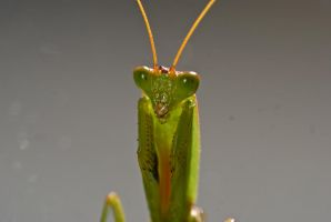 Ambient Mantis by TheInnerBeauty