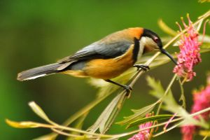 Spinebill on grevillea by wildplaces