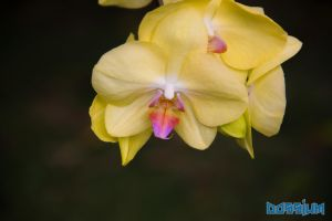 Yellow Orchid by Dossium