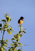 Baltimore Oriole by cindy1701d