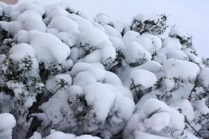 Snow Bush by bluesman219