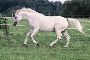 Warmblood Mare Cantering Pasture Stock by LuDa-Stock