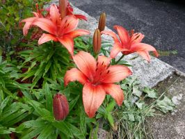 More Lilies by GUDRUN355