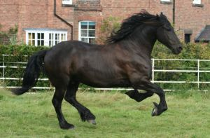 Friesian 5 by LBstockphotography