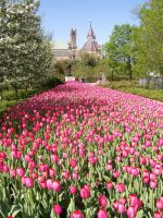 Endless tulips by cosmicspider