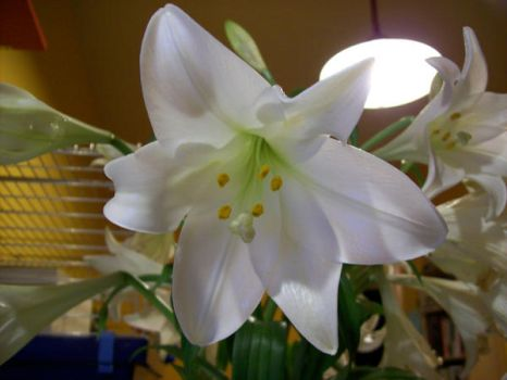white lily by tabbystock