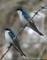 Barb Wire Swallow Duo by vanwaglajam