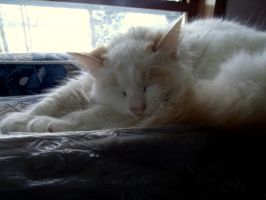 White Cat. (Himalayan Flame Point) by MireInHypocrisy