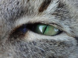 Eye Cat by HarleyPoison