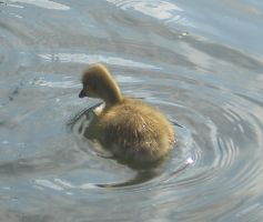 Stock - Duckling III by rockgem