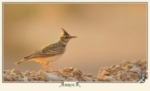 The horned lark by AMROU-A