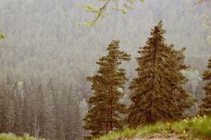 Misty Hills Of Pines And Firtrees by LindaMarieAnson