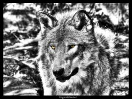 Grey wolf with yellow eyes by digitalminded