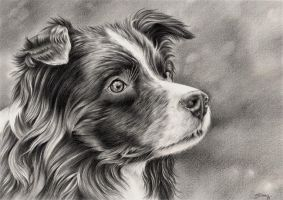 Border collie by Siluan