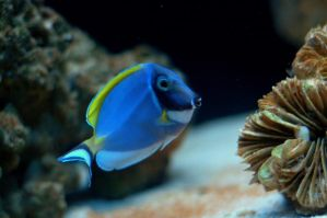 Powder Blue Tang by esee