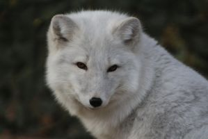 Arctic Fox Stock 5 by HOTNStock