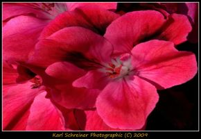 Pink 5 by KSPhotographic