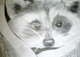 OLD~Racoon sketch by Animal-Talents