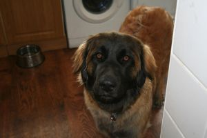 Kya Leonberger by CrayolaScribbles