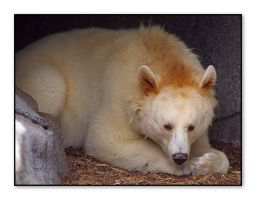Black Bear - White Phase by Digitaldedon