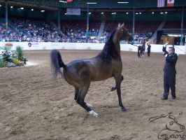 US Nationals - Halter 15 by Nyaorestock