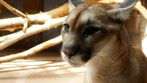 Cougar Close Up II by AokiBengal