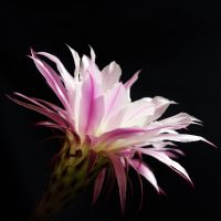 cactus flower by XSini