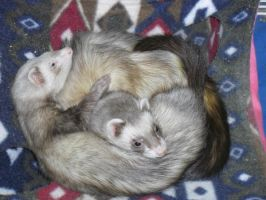 My Ferrets - Walter and Perry by FunkyJupiter