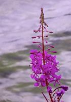 Fireweed by DivinerSilacaladhiel