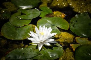White Water Lily | Chicago Botanic Garden by DanaHaynes