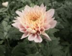 Pink Chrysanthemum by ForeverRookie