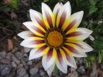 A Daisy of Many Colors by SuperMillyStarWriter